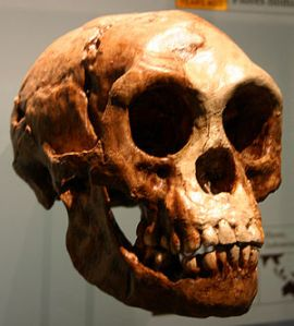 Skull of female Homo floresiensis (Photo:  Ryan Somma)