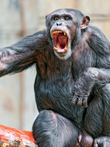 Threat display by male chimpanzee showing large canine teeth (Photo: Tambako)