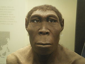 A reconstruction of male Homo erectus (Picture: Matanya)